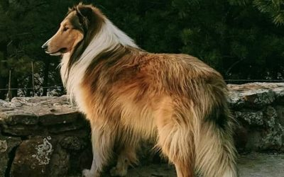 Titus, a sable and white Scottish (Rough) Collie, stands majestically outlined against a green forest background