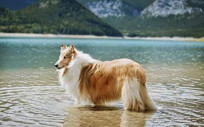 Do Collies Like to Swim?