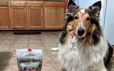 Yoshi, a sable and white female Rough Collie with a white forehead star, lies on the floor posing beside a bag of American Journey Landmark beef dog treats