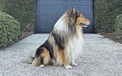 Collie Chatter Rough Collie Gus Posing