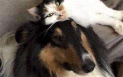 A black, white, and tan calico cat lies like a hat atop the head of a tricolor (black, white, and tan) Collie
