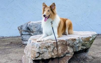 Juniper Sage, a sable merle Collie with blue eyes, reclines regally on a large rock
