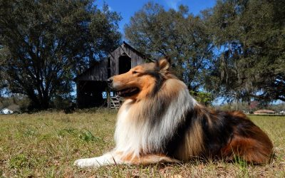 a mahogany sable and white rough collie a glossy coat lies in the sunshine before an old weatherbeaten gray barn