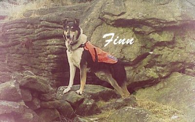 smooth collie search and rescue dog flinn