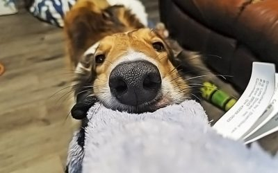 yoshi collie playing with chew toy