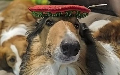 yoshi collie with toy on her head